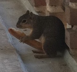 squirrel eating breadstick